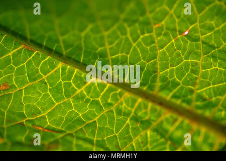 Grünes Blatt Kapillaren - Stockfoto