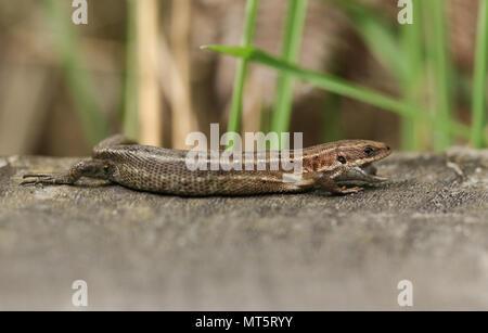 Eine atemberaubende Gemeinsame Lizard (Zootoca Vivipara) Jagd auf einen Holzsteg mit seinen Mund geöffnet, die Zunge zu zeigen.