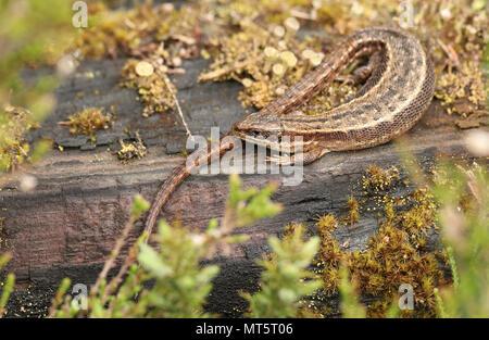 Eine atemberaubende Gemeinsame Lizard (Zootoca Vivipara) Erwärmung auf einem anmelden.