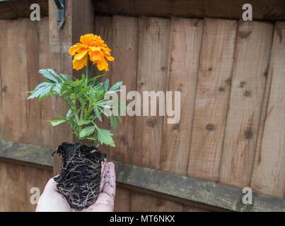 Ein Gärtner beschäftigt Gartenarbeit in einem Englischen Garten - Stockfoto