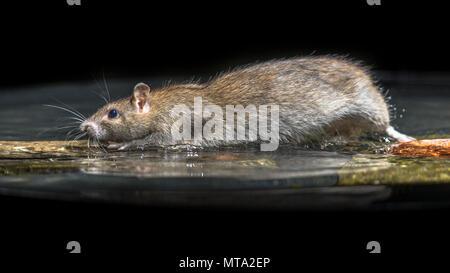 Wilde braune Ratte (Rattus norvegicus) Bewegen im Wasser des Flusses - Stockfoto