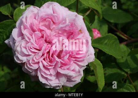 Eine Nahaufnahme von einem schönen historischen Erbes stark parfümierte Moschus pink in voller Blüte in einem Englischen Garten im Sommer wachsende Rose - Stockfoto