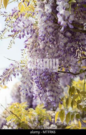 glyzinie wisteria floribunda bl hende kletterpflanze mit wei blau lila blumen auf hausfassade. Black Bedroom Furniture Sets. Home Design Ideas