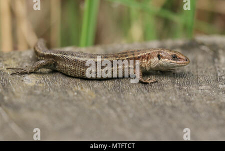 Eine atemberaubende Gemeinsame Lizard (Zootoca Vivipara) Jagd auf einen Holzsteg.
