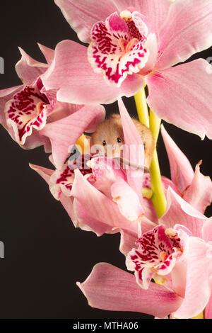 Eine kleine Ernte Maus durch eine rosa Orchidee in einem Studio Einstellung spannen - Stockfoto