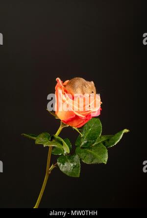 Ernte Maus macht es sich bequem auf eine Rose - Stockfoto