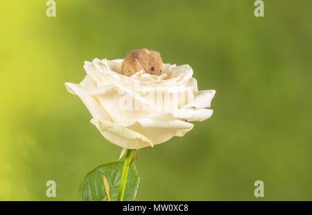 Havest Maus auf eine weiße Rose in einem Studio Hintergrund - Stockfoto