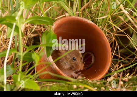 Wild harvest Maus Futter für Saatgut - Stockfoto
