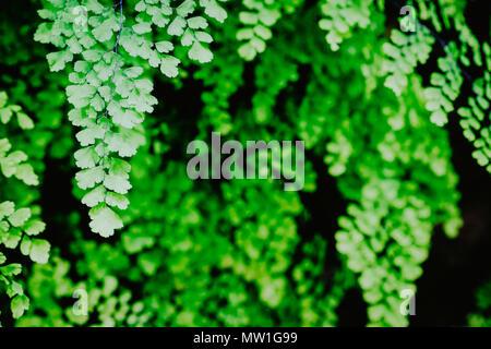 Schöne grüne Farne Blätter Laub von natürlichen Blumen Farn auf dunklem Hintergrund - Stockfoto