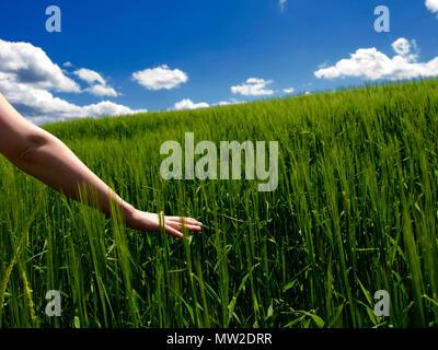 Die junge Frau Hand berühren Ohren von Gerste in einem Feld. Der Auvergne. Frankreich - Stockfoto