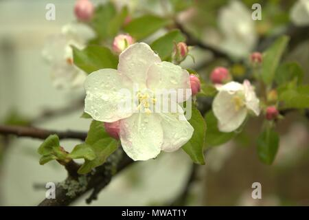 Nahaufnahme einer Apfelblüte nach einem Frühling Dusche - Stockfoto