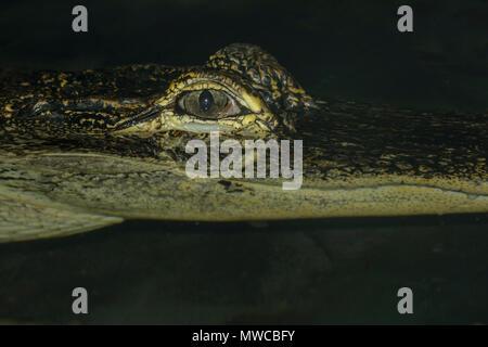 American alligator (Alligator mississipiensis), Captive, Reptilien Reptilien Zoo, Vaughan, Ontario, Kanada