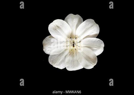 Acht Blütenblatt Blume von einem weißen Guenrsey Creme clematis Kletterpflanze. - Stockfoto