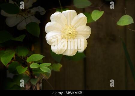 Eine einzelne Blume auf Guernsey Cream klettern Clematis in einen englischen Garten an einem sonnigen Tag. - Stockfoto