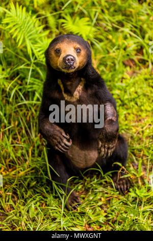 Native Sun Bear im Bako Nationalpark, Kuching, Sarawak, Borneo, Malaysia, Südostasien, Asien - Stockfoto