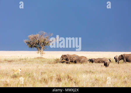 Löwin (Panthera leo) und Afrikanischer Elefant (Loxodonta africana), Serengeti National Park, UNESCO-Weltkulturerbe, Tansania, Ostafrika, Südafrika
