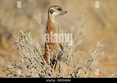 Erdmännchen (Suricata Suricatta) stehen auf der Hut, Kalahari-Wüste, Südafrika zu warnen - Stockfoto
