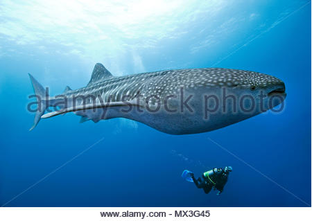 Scuba Diver beobachten ein Walhai (Firma IPCON typus), die größten Fische der Welt, Cocos Island, Costa Rica, Mittelamerika, Nordamerika - Stockfoto