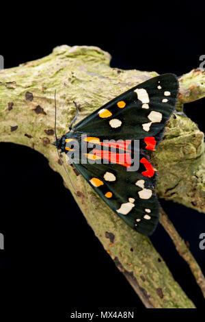 Eine rote Tiger Moth, Callimorpha dominula, auf einem schwarzen Hintergrund, die von Raupen in der Wildnis gefunden und nach Hg freigegeben wurde - Stockfoto