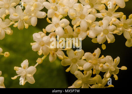 Nahaufnahme von Holunder weiße Blumen auf einem Busch im Frühling ...