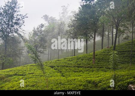 Der Bereich der Fingerknöchel Berge rund um Kandy in Sri Lanka bieten spektakuläre Ausblicke mit wunderschönen Teeplantagen - Stockfoto