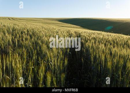 Grünes Weizenfeld auf den Hügeln unter klaren Himmel - Stockfoto
