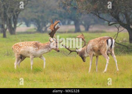 Zwei große Damwild Hirsche, Dama Dama, kämpfen während der Brunftzeit auf einer grünen Wiese. - Stockfoto