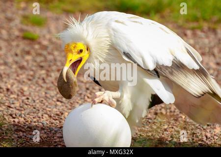 Schmutzgeier (Neophron percnopterus) Raubvogel, genannt auch die weiße scavenger Geier oder des Pharao Huhn, brach eine große, weiße Eier mit einer s - Stockfoto