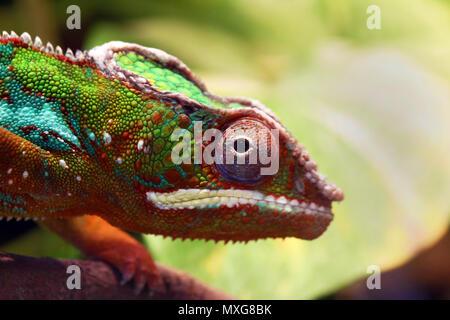 Close up Tier portrait Foto von chameleon Eidechse Ändern der Farbe der Haut - Stockfoto