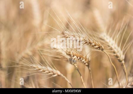 Weizenfeld. Ohren der goldene Weizen hautnah. Schöne Natur Sonnenuntergang Landschaft. Landschaft unter der strahlenden Sonne. Hintergrund der reifenden Ähren wiese Weizenfeld. Stockfoto
