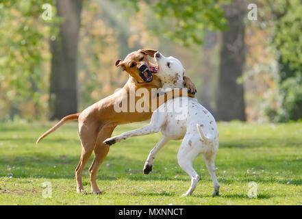 Zwei Hunde, Rhodesian Ridgeback und Dalmatinische (Farbe zitrone), gemeinsam spielen und toben über in eine grüne Wiese im Frühjahr - Stockfoto