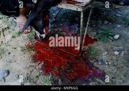Eine Ziege Blutungen auf den Boden nach für eine Silvester Abendessen im Goldenen Mapandan, Philippinen geschlachtet werden - Stockfoto
