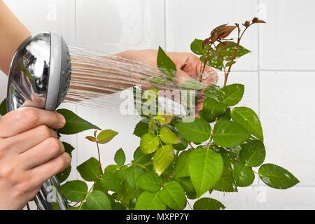 Hände gießen aus der Dusche stieg auf Staub Reinigen und befeuchten es - Stockfoto