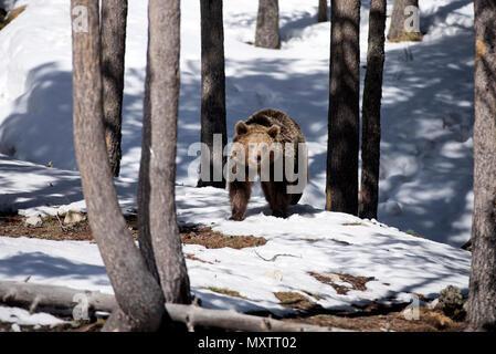 Brauner Bär im Schnee, Ende des Winters (Urrsus arctos) - Stockfoto