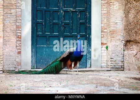 Peacock Posen in die Gärten des Alcazar, Sevilla