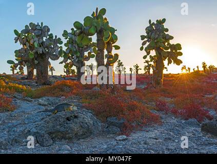 Eine Galapagos land Iguana (Conolophus subcristatus), zwischen dem Roten sesuvium Strauch Pflanzen und Kakteen opuntia bei Sonnenuntergang, South Plaza Insel, Ecuador. - Stockfoto
