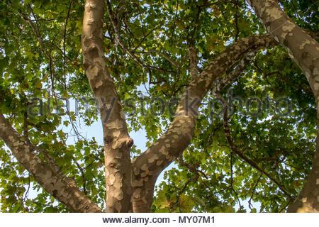 Interessante, schöne und erstaunliche Baum im Park Ayazmoto in Stara Zagora Stadt. Wissenschaftler haben bewiesen, dass Stara Zagora ist das Zentrum der Unive - Stockfoto