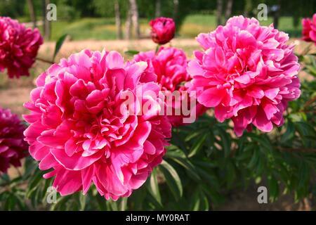 Wunderbare rosa Hortensie in einem Garten, in der Nähe - Stockfoto