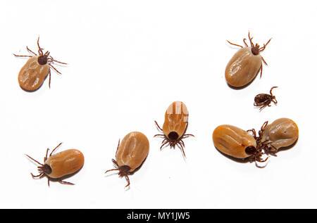 Viele Castor bean Zecken, grosse und kleine, auf weißem Hintergrund - Stockfoto