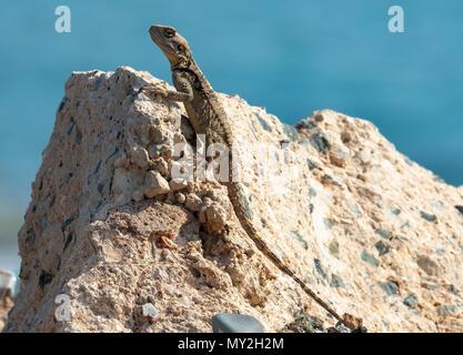 Gecko Echse (infraorder Gekkota) auf einem Felsen, Coral Bay, Zypern.