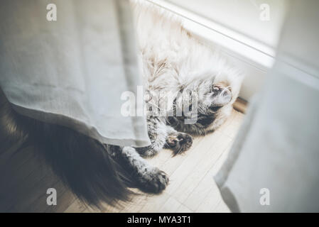 Flauschige Katze liegend hinter Vorhang auf Holzboden schlafen - Stockfoto