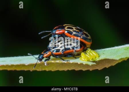 Cottonwood blatt Käfer, Chrysomela scripta Fabricius, Eier und das Umwerben auf Willow. - Stockfoto