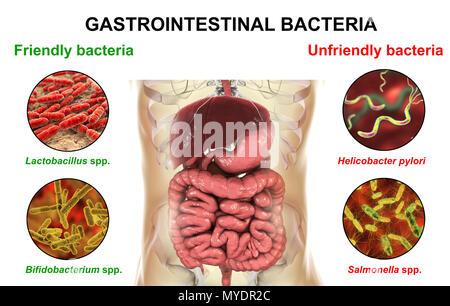 Helicobacter Pylori im menschlichen Magen betrachtet bei 400 X ...