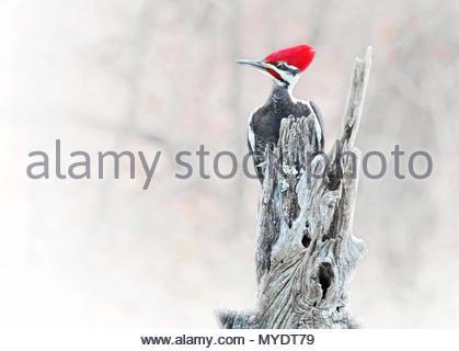 Ein ziemlich genervt Suchen männliche Pileated Woodpecker klammert sich an der Spitze eines Locust Tree post. - Stockfoto