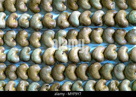 Rohe Cashewkerne martial intakt nach der Ernte, das ist mehr nahrhafte Getreide und ungesättigten Fetten ist vorteilhaft für die menschliche Gesundheit - Stockfoto
