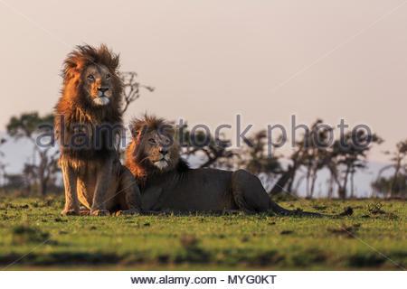 Zwei Männliche Löwen (Panthera leo). - Stockfoto