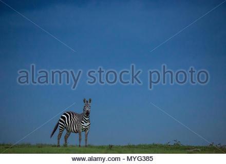 Eine Ebenen Zebra steht auf eine grasbedeckte Ebene in Solio Rhino Sanctuary. - Stockfoto
