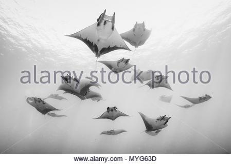 Eine Schule der Teufelsrochen schwimmen auf der Oberfläche des Wassers. - Stockfoto