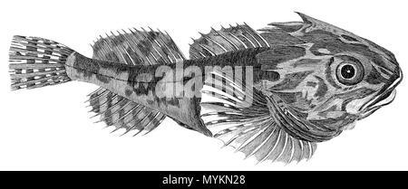 """Von """"British Zoologie"""" von Thomas Pennant, 1812 getroffen Stockfoto"""