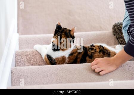 Calico weiß und Ingwer Katze sitzt auf Treppen im Innen- home Flur liegend durch junge Frau eigner Hand wieder nach unten schauen. - Stockfoto